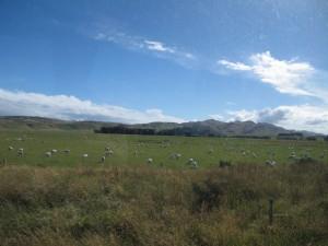 Schafe und blauer Himmel