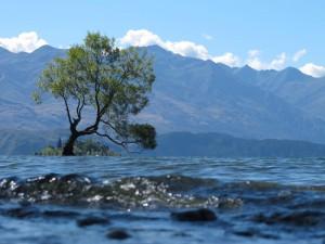 Weide im See Wanaka