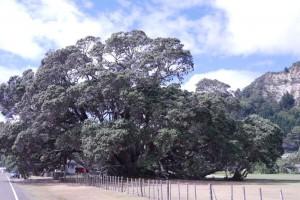Neuseelands größter Pohutukawa Baum